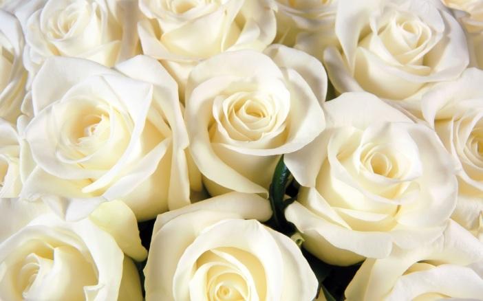 bijela ruža
